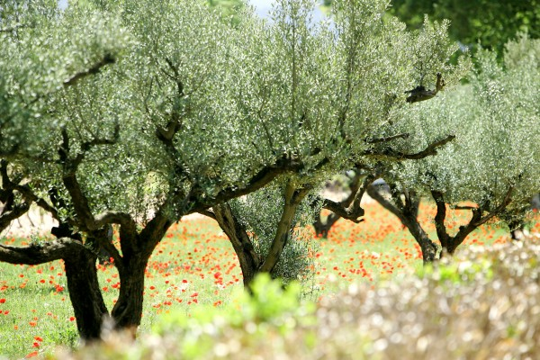 Planter un olivier dans son jardin - Bricoleur Malin