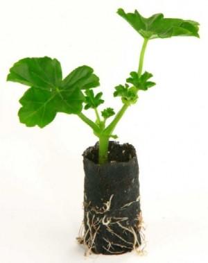 bouture-geranium