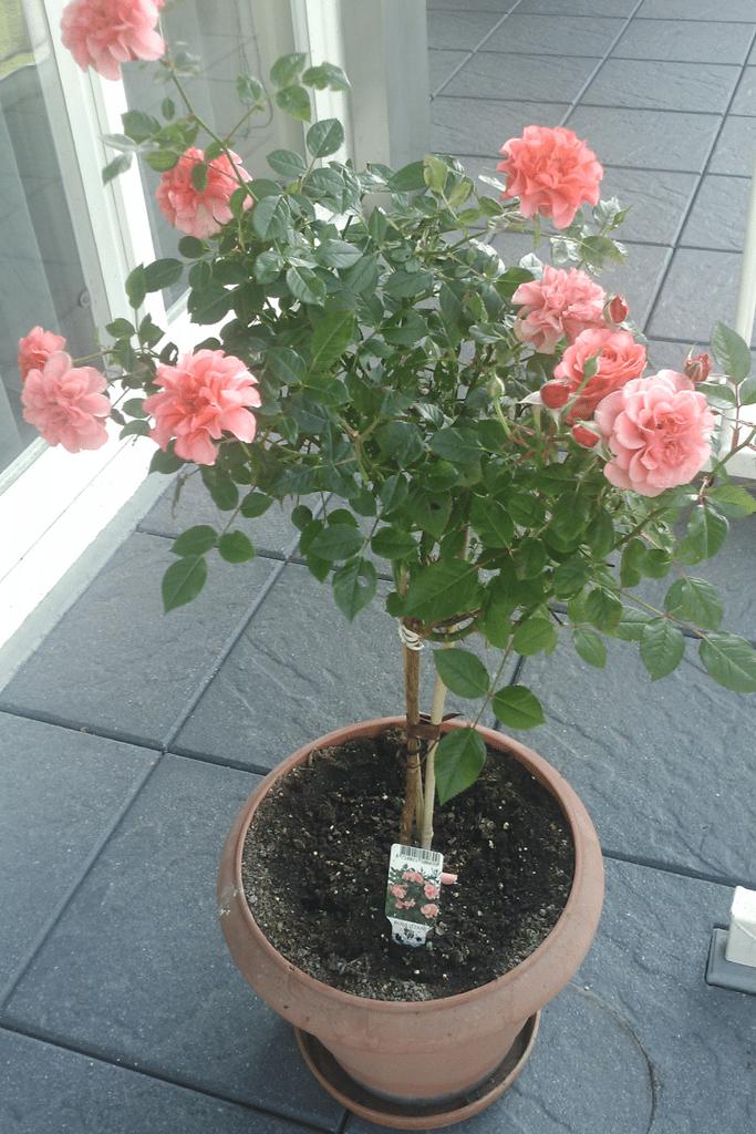Quand et comment planter un rosier dans son jardin for Solde plante jardin