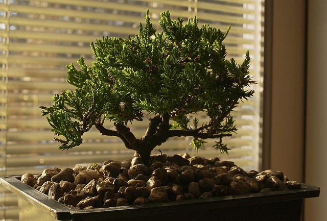 bonsai-dinterieur