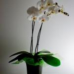 Quelques conseils pour acheter/choisir une Orchidée?